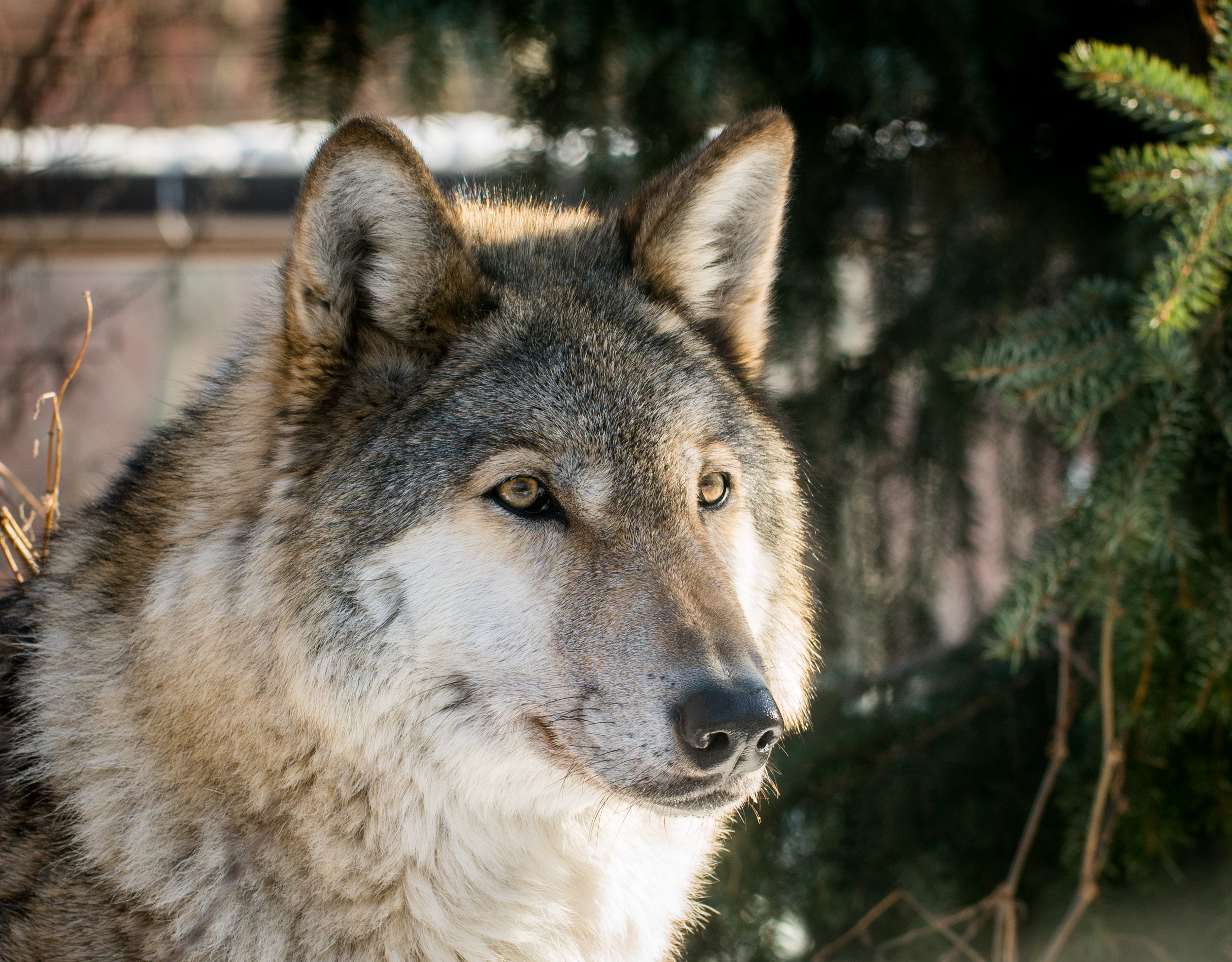 Wallpapers Wolf Hd Brown Wolf 183 Free Stock Photo