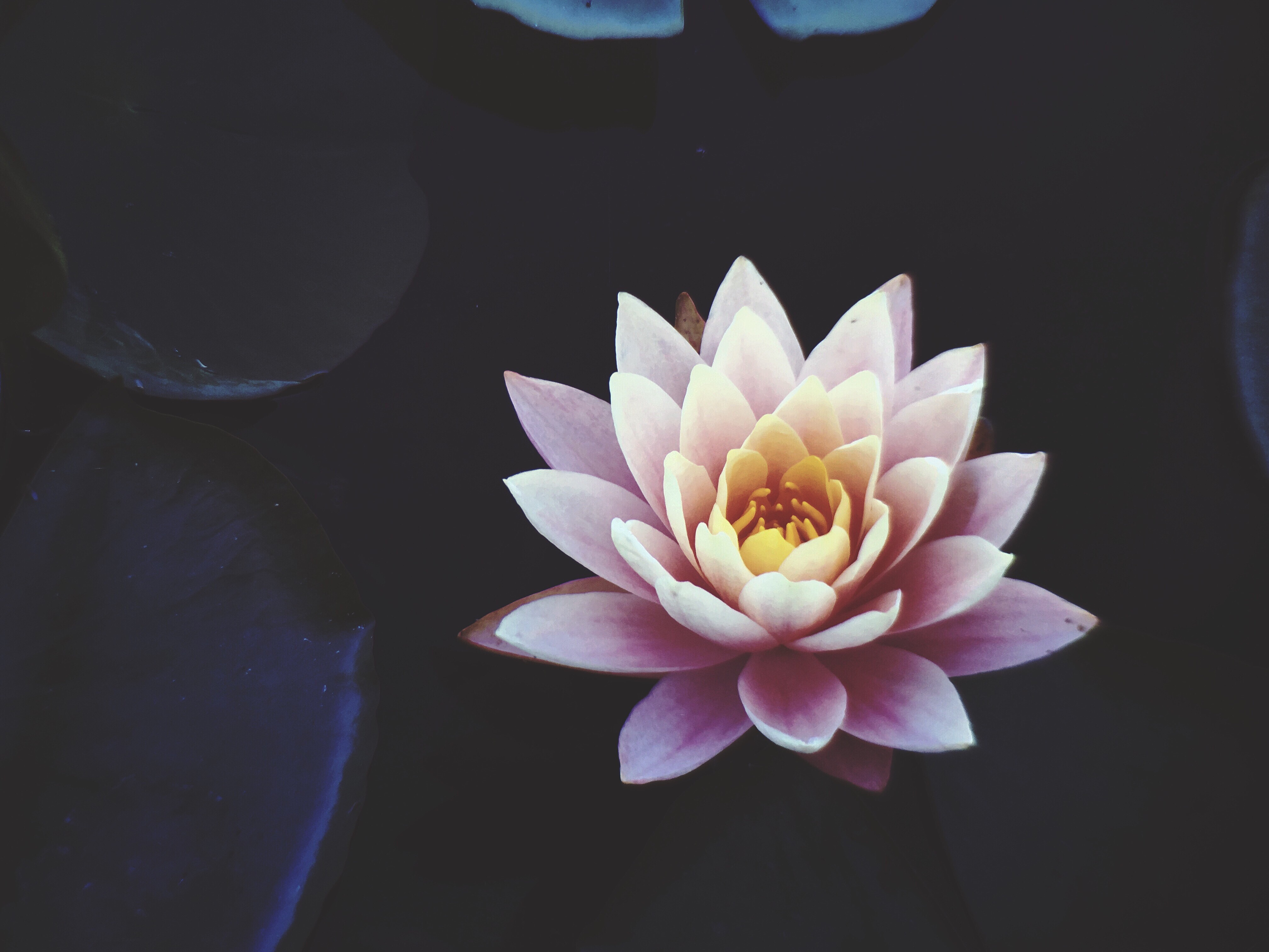 Wallpaper Black And White Flowers Lotus Flower Blooming During Daytime 183 Free Stock Photo