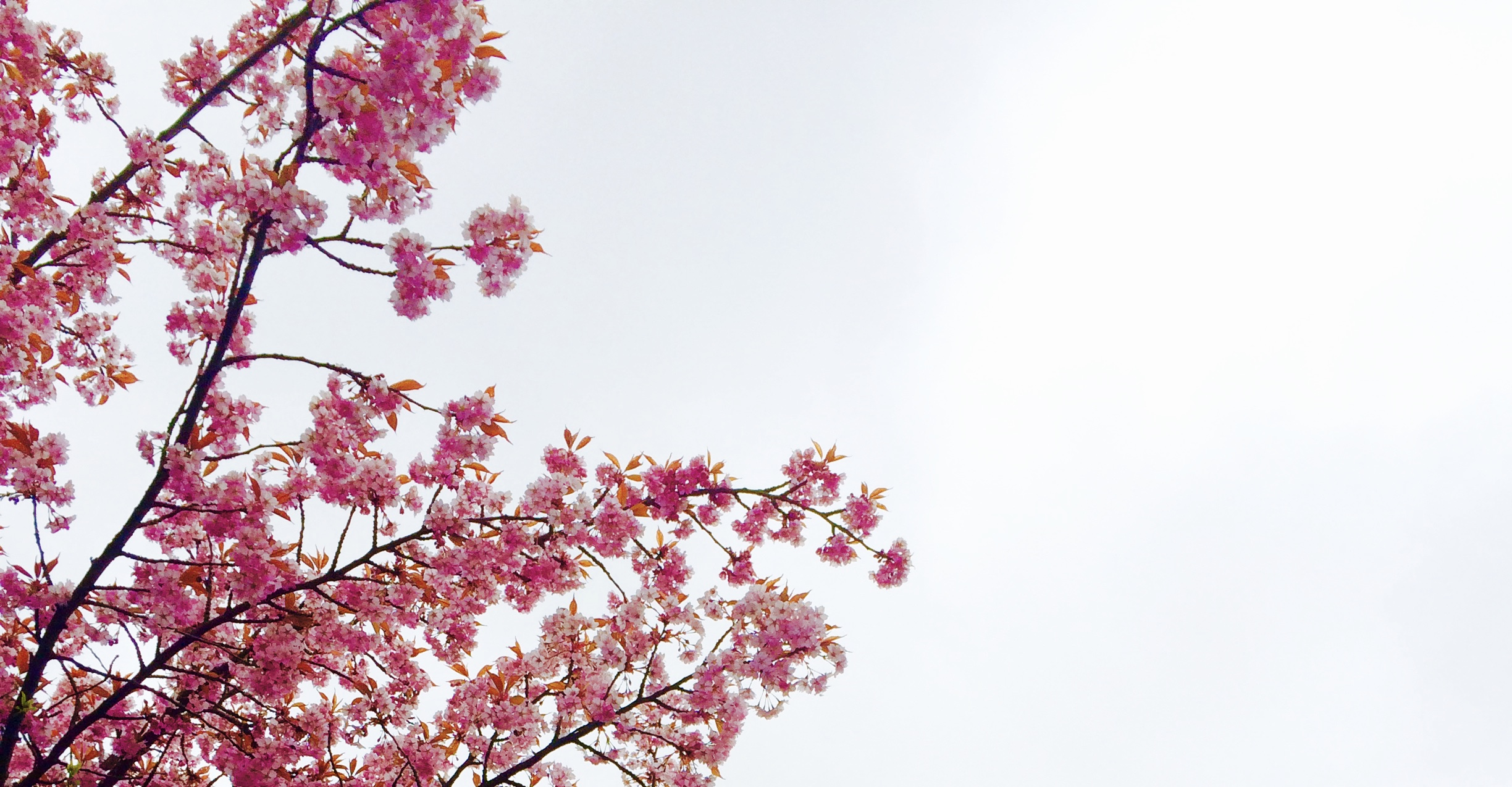 Best Wallpapers For Iphone 6 Hd 1000 Interesting Cherry Blossom Photos 183 Pexels 183 Free