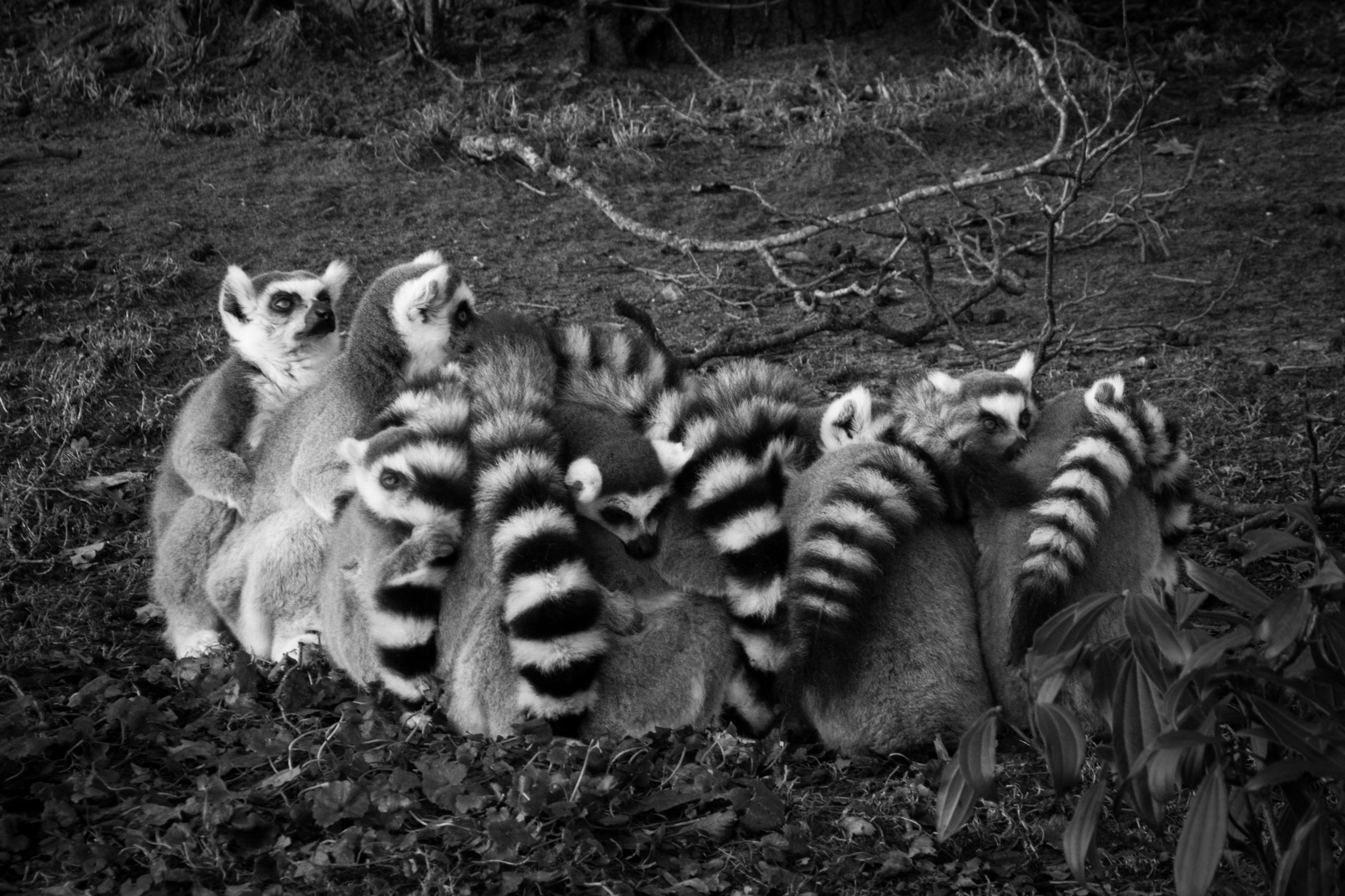 High Hd Wallpaper Download Gray Scale Of Lemur 183 Free Stock Photo