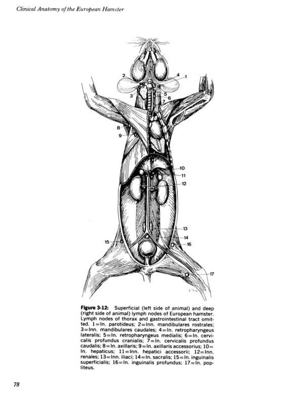 guinea pig anatomy diagram