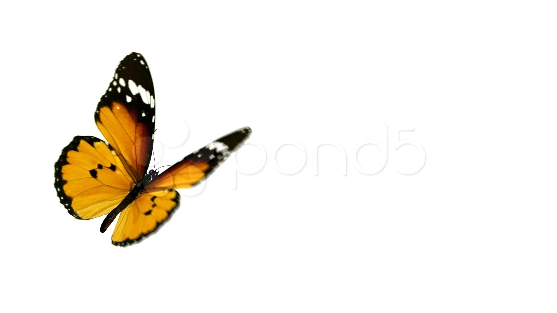 Flying Butterfly Animated Butterfly Animation Includes Alpha Channel Footage 349108