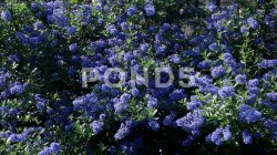 Small Of Ceanothus Dark Star