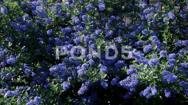 Large Of Ceanothus Dark Star