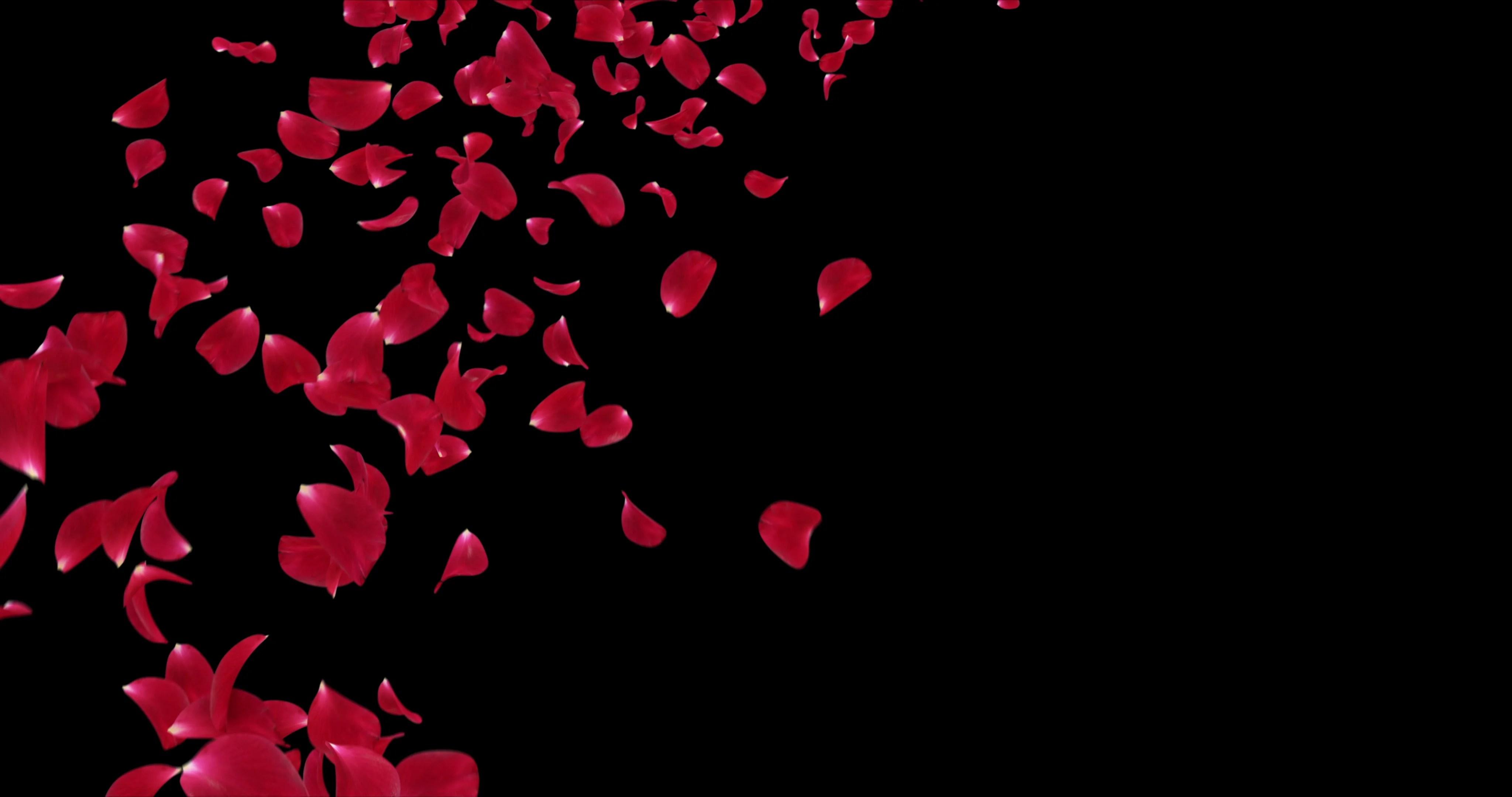 Rose Petals Falling Wallpaper Transparent Gif Flying Romantic Red Rose Flower Petals Falling Placeholder