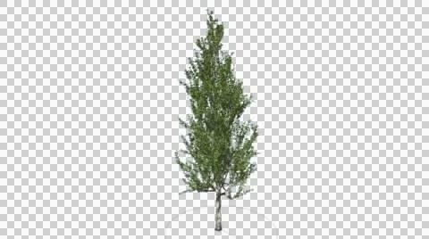 Lombardy Poplar Tree Cut of Chroma Key Tree on Alfa Channel Tree is