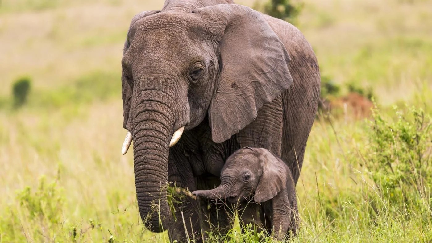 Cute Dental Wallpaper What Is A Baby Elephant Called Reference Com