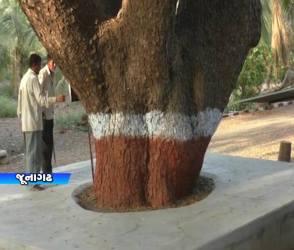 જૂનાગઢ: ઇસ્ટ ઇન્ડિયા કંપનીએ કર્યું હતુ વૃક્ષા રોપાણ, જુઓ 125 વર્ષ જૂનુ વૃક્ષ