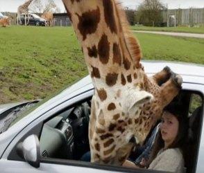 કારમાં ફસાયું જિરાફનું માથુ, જુઓ પછી શું થયું… Video
