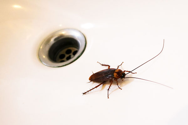 Why Cockroaches Are Attracted To Your Home Even When Its