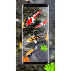 Small Crop Of Koi Fish Wallpaper