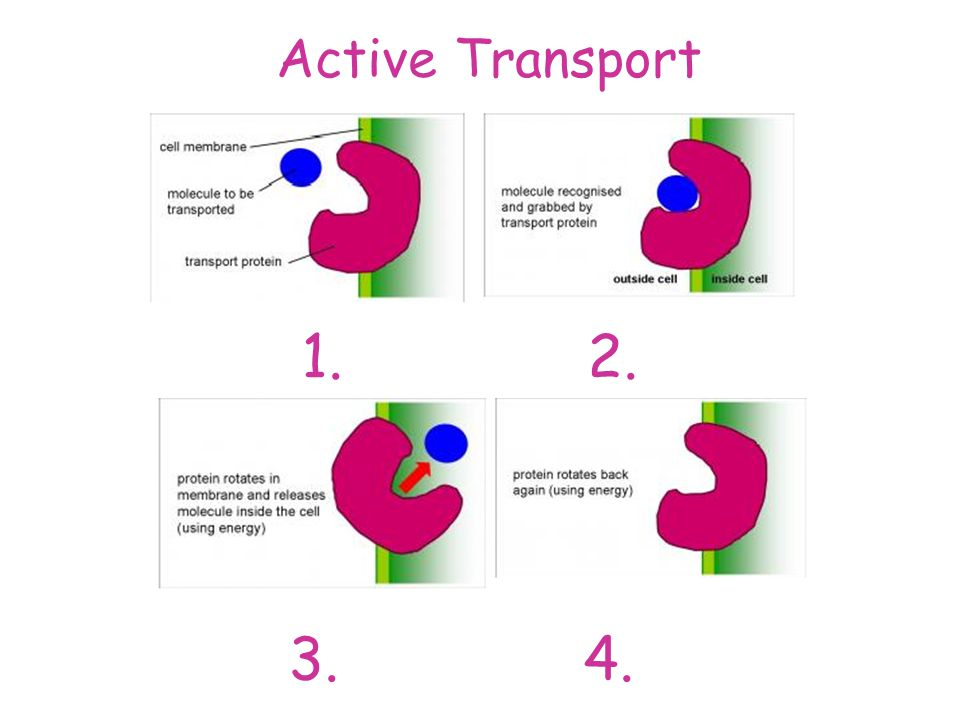 Active Transport Active Transport Exchange in the Lungs - ppt download