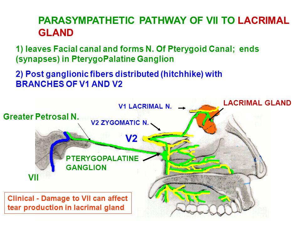 lacrimal gland innervation - Pinarkubkireklamowe