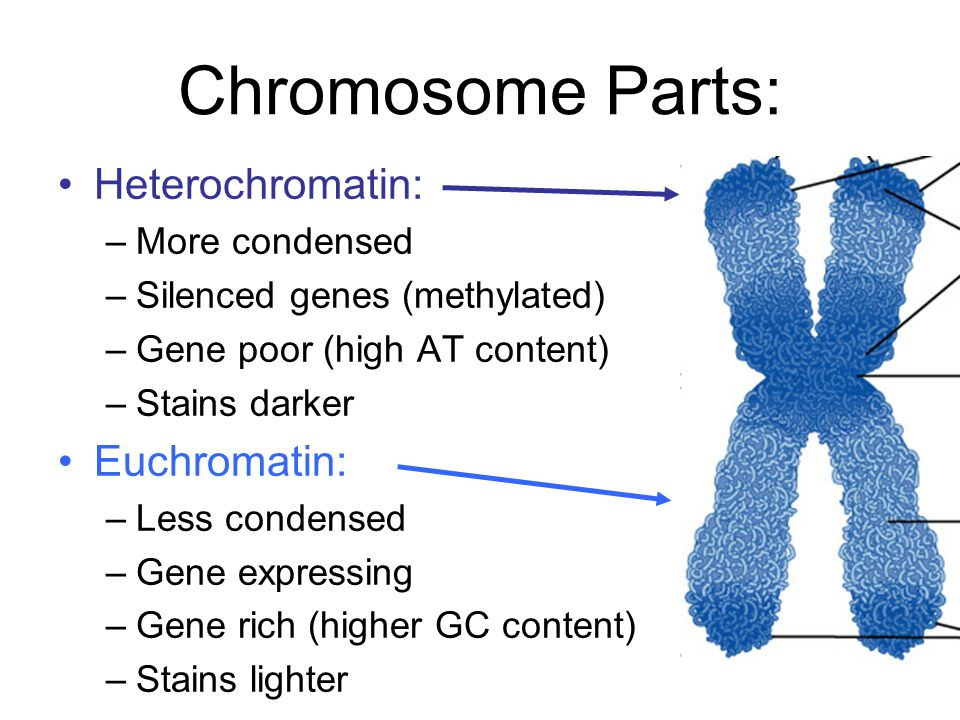 Heterochromatin and Euchromatin Genetics \ Genomics Pinterest - power words for resumes