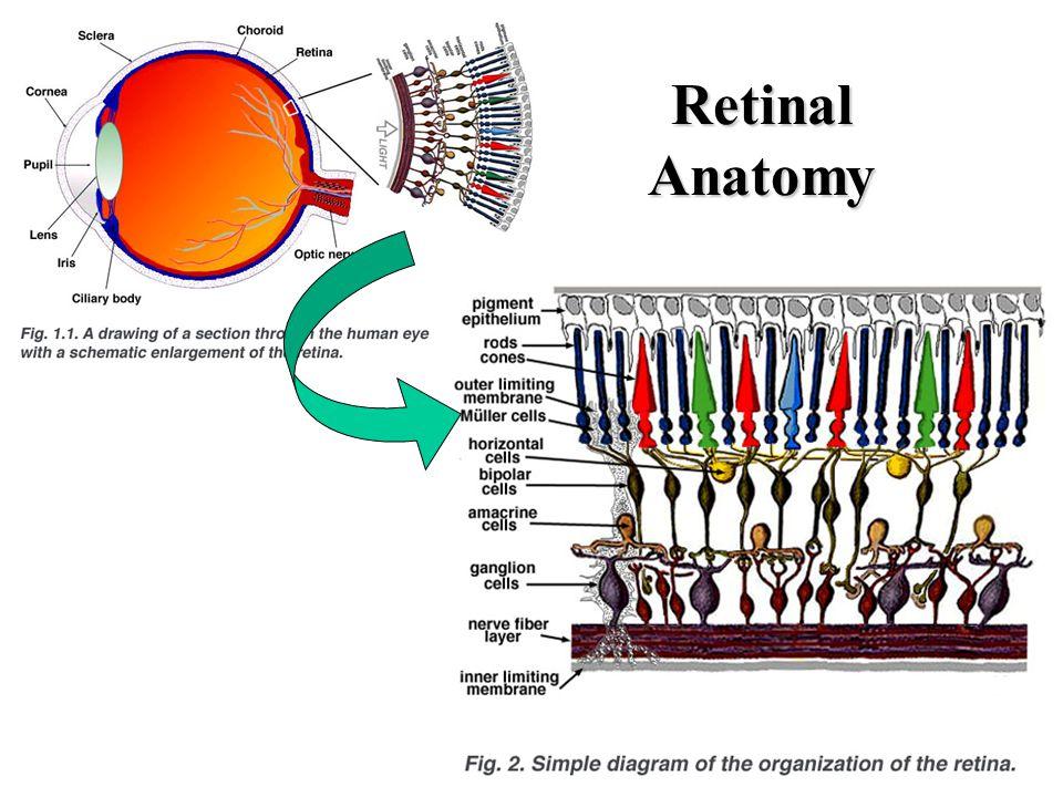 Gross Anatomy of the Eye Cornea at anterior \u2013Light passes to lens