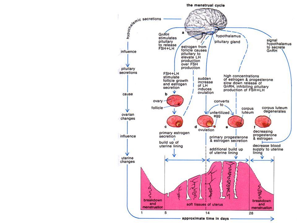 The Hormones GnRH \u003d gonadotropin-releasing hormone FSH \u003d Folicle