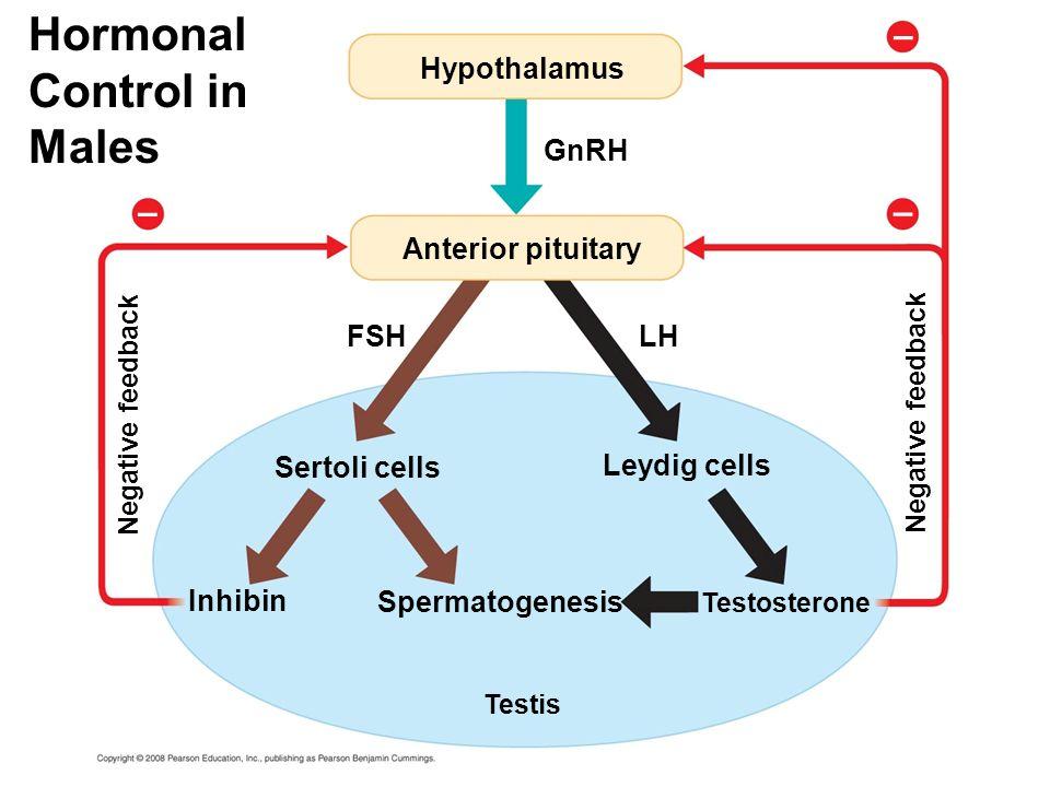 Hormonal Control in Males Hypothalamus GnRH FSH Anterior pituitary