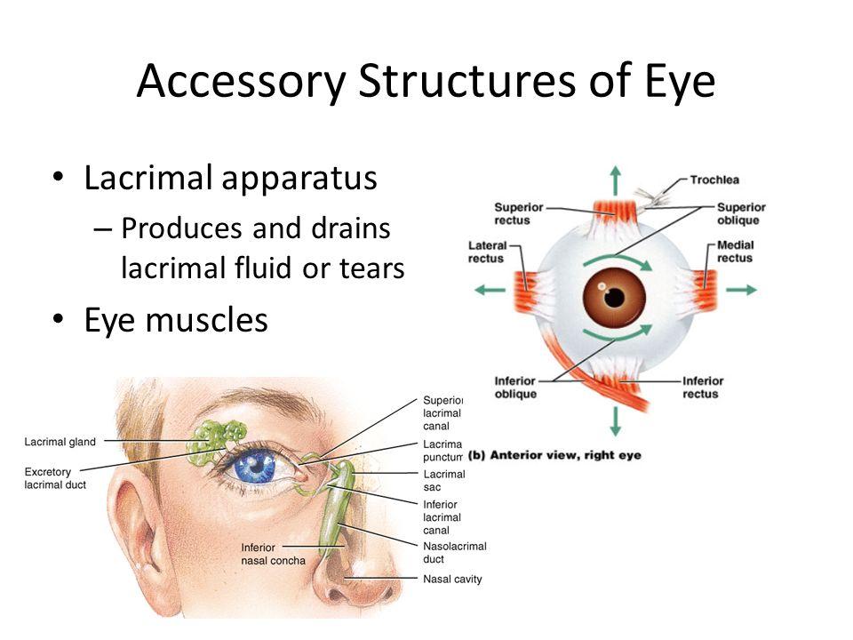 Senses Vision Ch Accessory Structures of Eye Eyelids Eyelashes