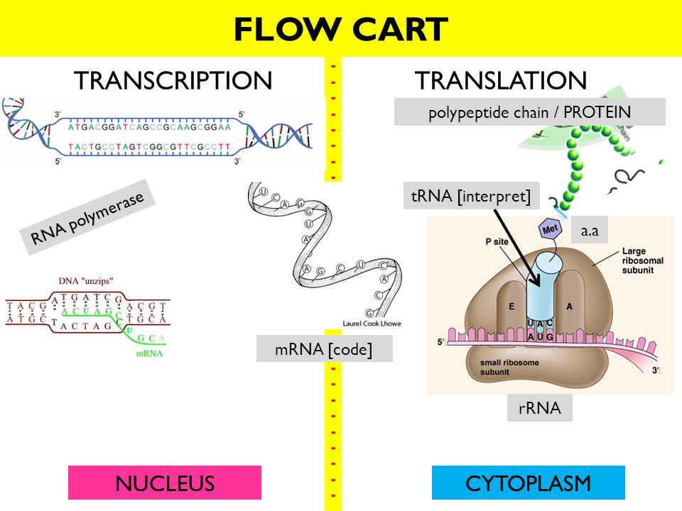 Dna Translation Diagram Ribosome Wiring Schematic Diagram