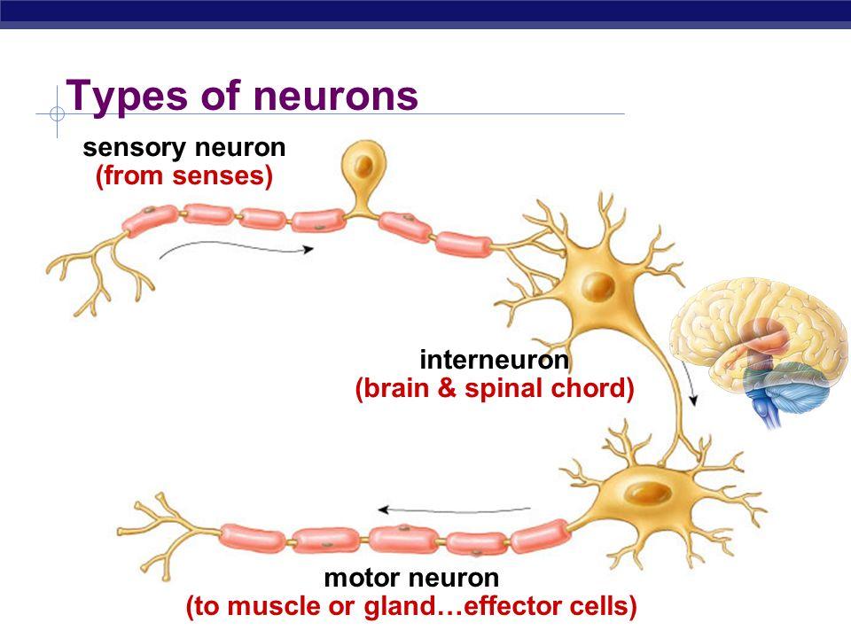 Nervous System Nervous system cells  Neurons Glial cells OBJ ppt