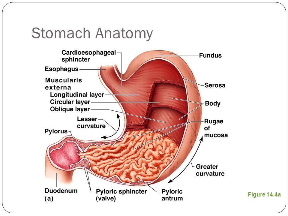The Stomach Structure Neurovasculature Teachmeanatomythe