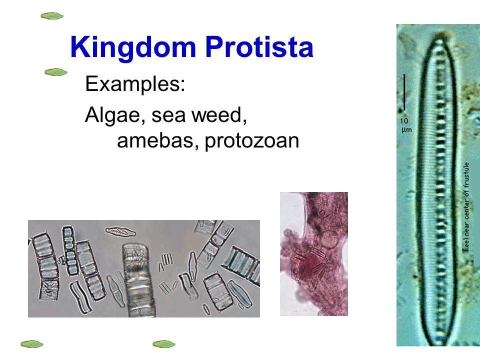 protista examples - Romeolandinez - protista examples