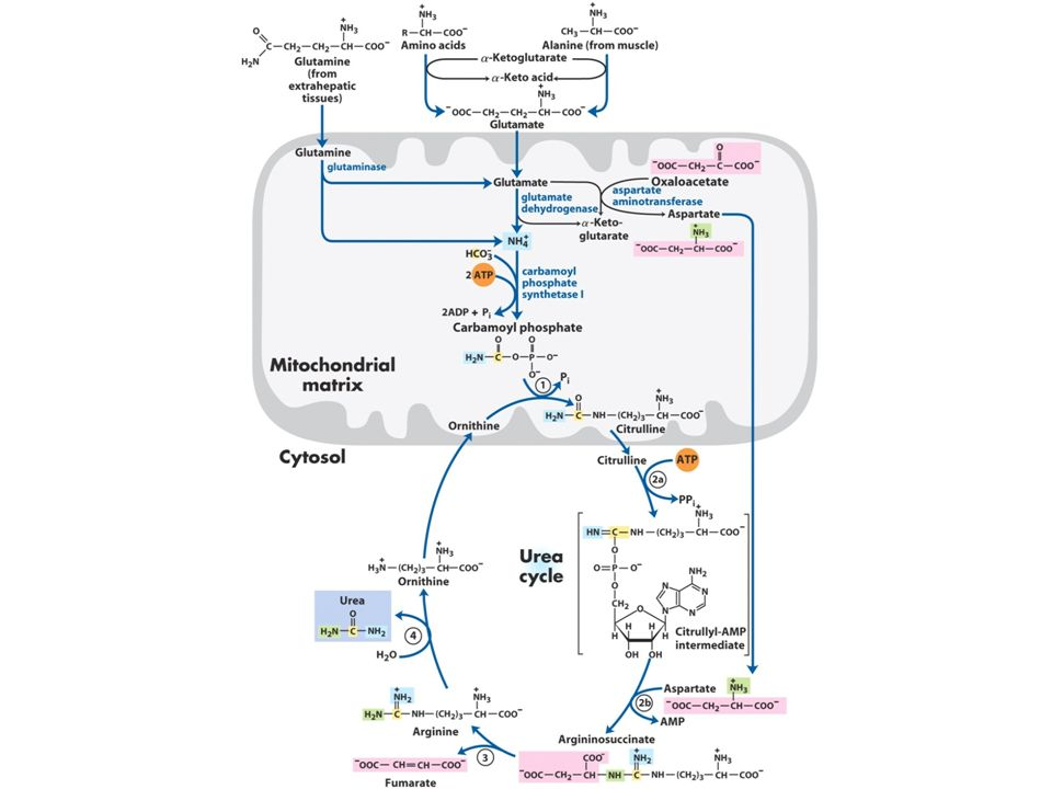 182 Nitrogen Excretion and the Urea Cycle Produced in liver Blood - urea cycle