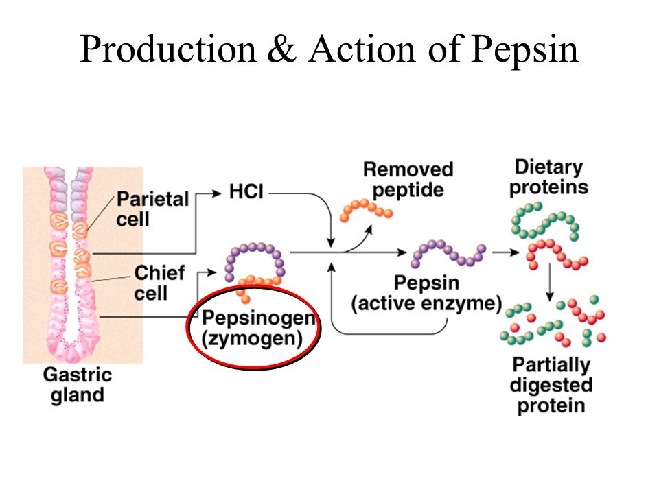 Proteins digestion occurs when HCl denatures proteins, and pepsin - school leave application