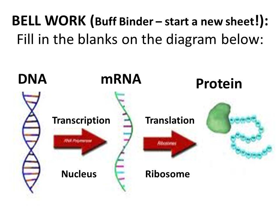 1 4 Ribosome Translation 3 Protein 2 BELL WORK ( Buff Binder