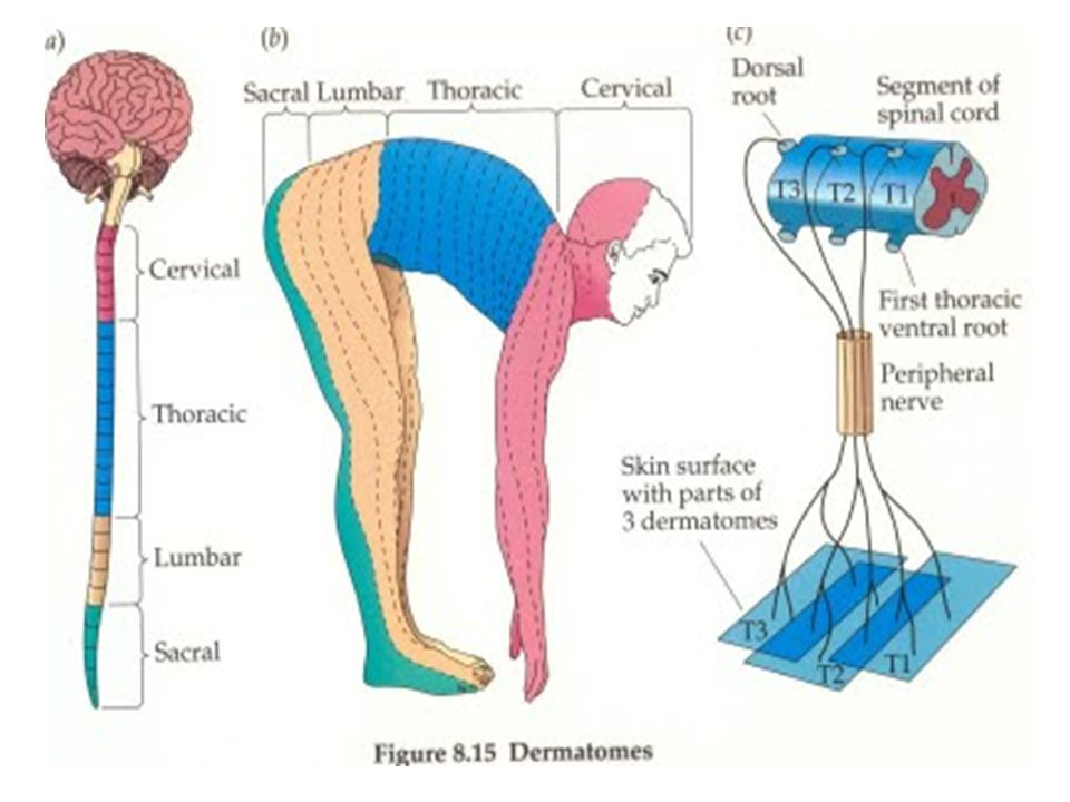 Dermatomes and Myotomes Dr Edrish Contractor Introduction Spinal