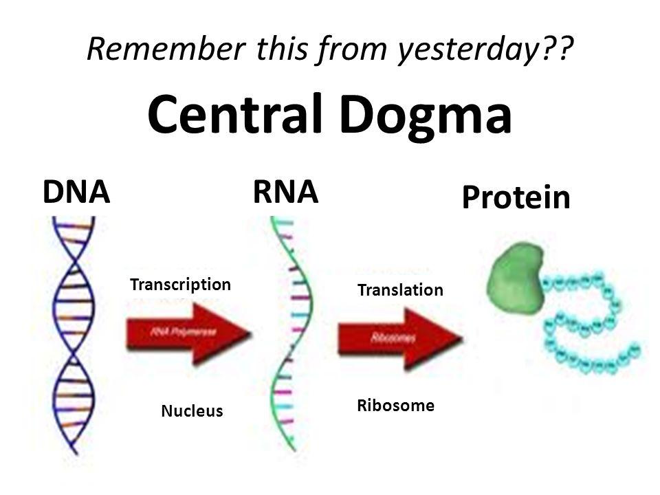 Central Dogma DNA Nucleus Ribosome Translation Transcription Protein
