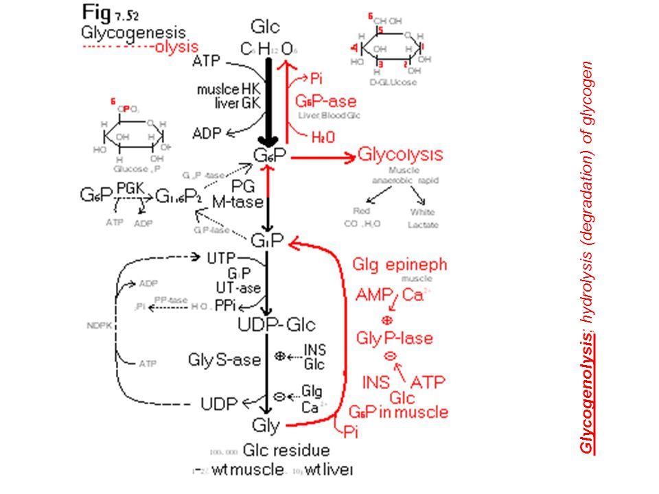Glycogen metabolism ط Glycogen synthesis (Glycogenesis) ط Steps