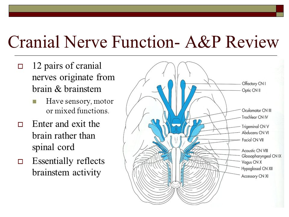 Cranial Nerve Function- AP Review  12 pairs of cranial nerves