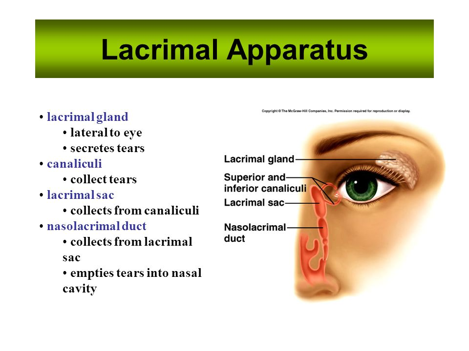 Sight Visual Accessory Organs eyelids lacrimal apparatus extrinsic