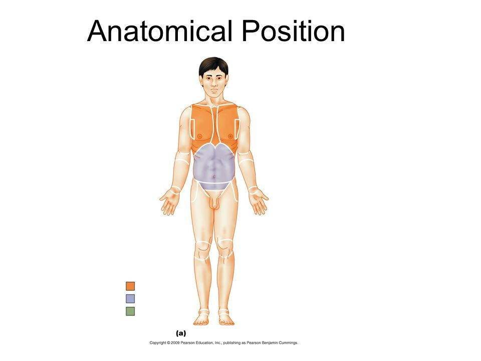 Anatomy and Physiology The Language of Anatomy Anatomical Position
