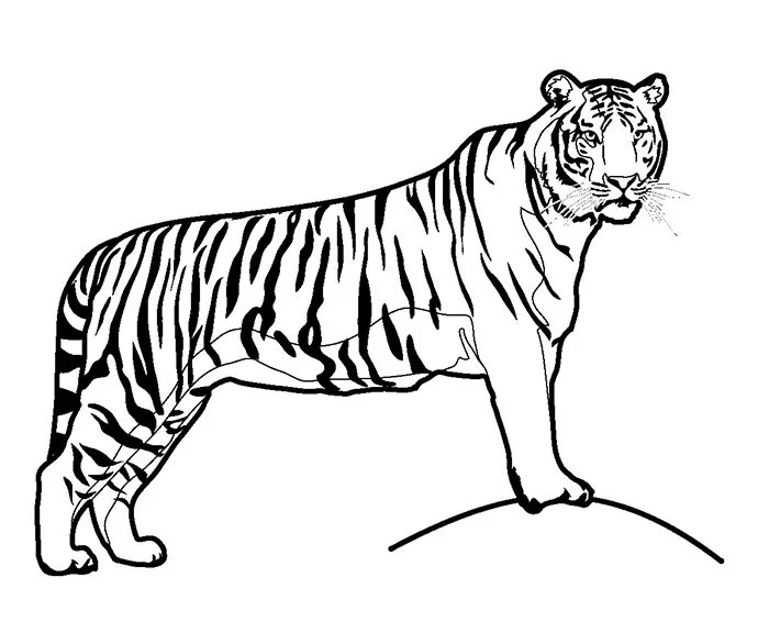 60+ Tiger Shape Templates, Crafts  Colouring Pages Free  Premium