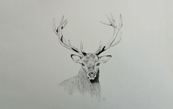 24+ Free Deer Drawings  Designs Free  Premium Templates
