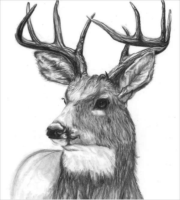 24+ Free Deer Drawings  Designs Free  Premium Templates