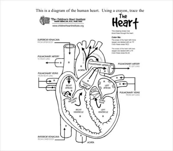 diagram of the heart and its functions