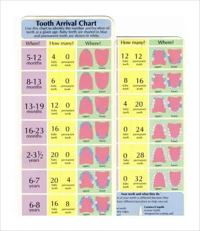 Baby Teeth Chart - 8+ Free PDF Documents Download Free  Premium