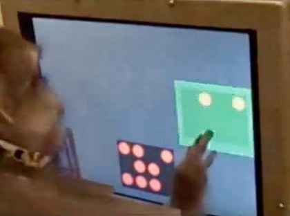 A Rhesus monkey solves addition and subtraction problems on a touch screen computer as part of a study.