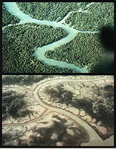Mangrove forests before and after spraying. Wikimedia