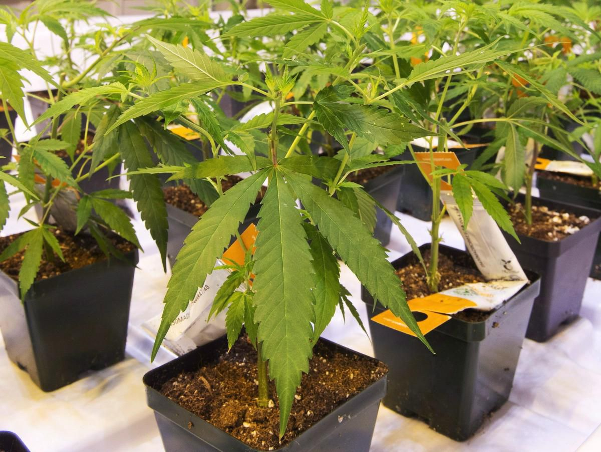 Marijuana To Boost Canadas 2019 Gdp At Least On Paper