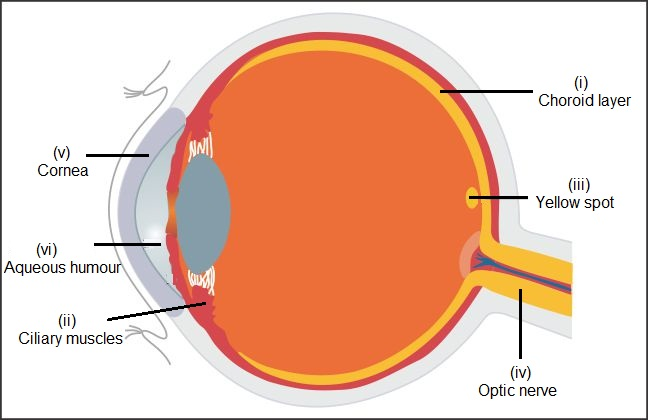 draw a diagram of the human eye as seen in a vertical section and