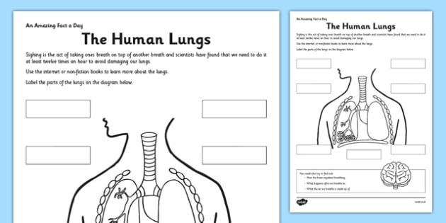 The Human Lungs Worksheet / Worksheet - human lungs, fact of the day
