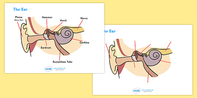 FREE! - Ear Worksheets - ear, biology, worksheet, how does the ear work