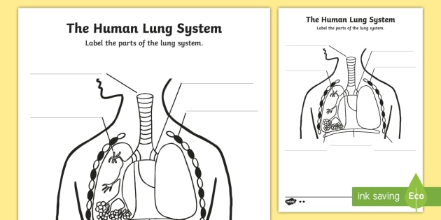 Human Body Lungs Diagram Labelling Worksheet / Worksheet - ourselves