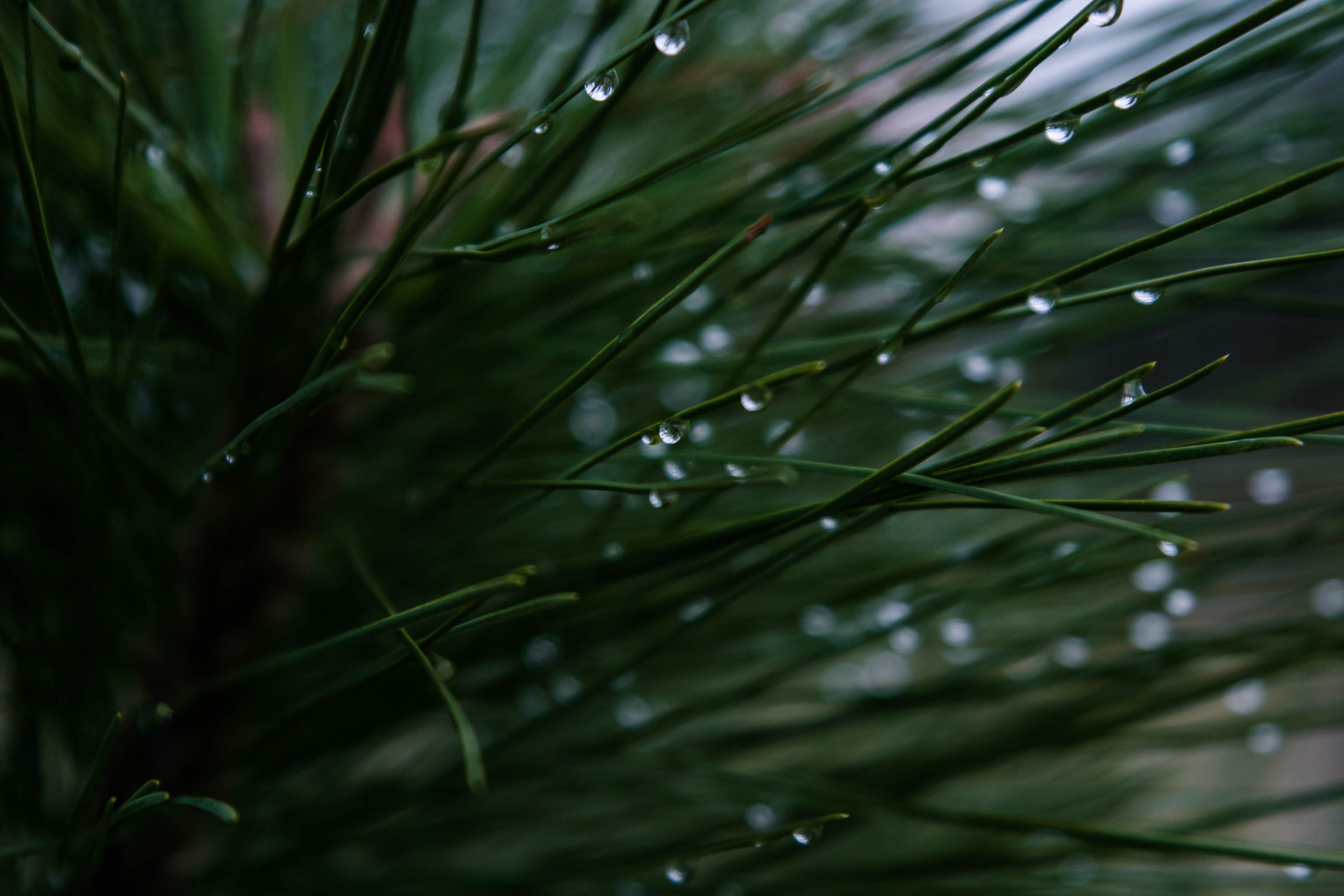 Fall Pics Wallpaper Dew Pine Needle And Tree Hd Photo By Micah Hallahan