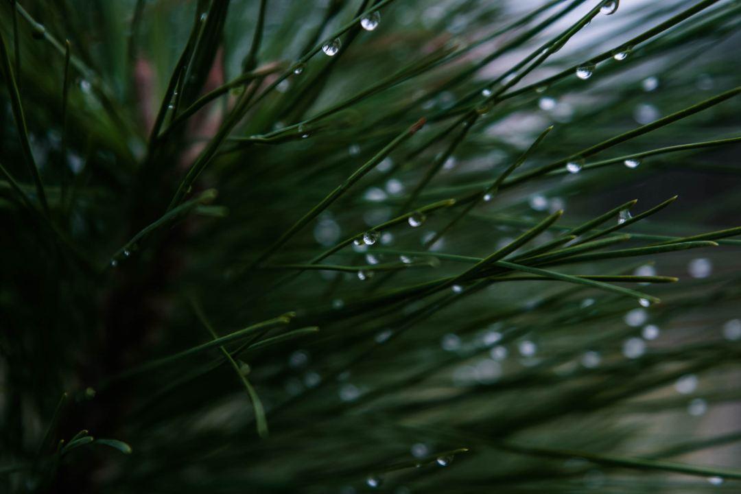 Dew, pine, needle and tree HD photo by Micah Hallahan (@micah_hallahan) on Unsplash