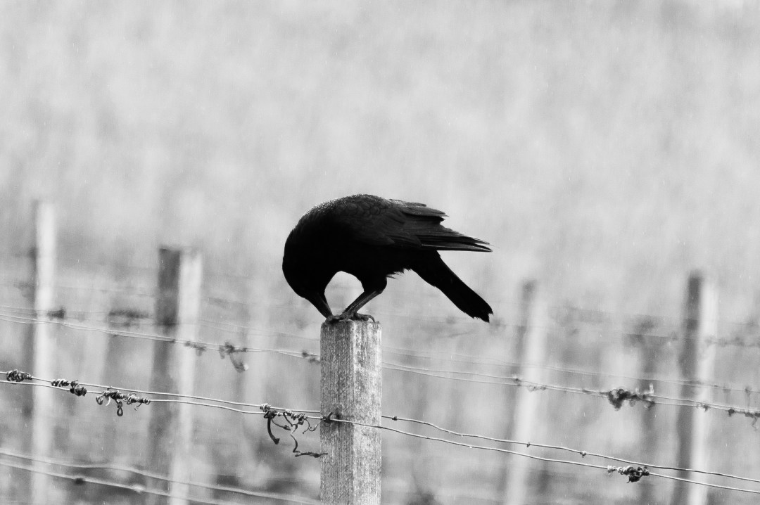 Keyword Black Bird On Barbed Wire Photo By Hannes Wolf Hannes